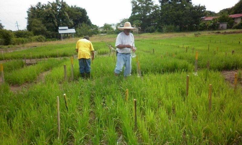 Panamá: Utilizan tecnología nuclear para mejorar el cultivo de arroz